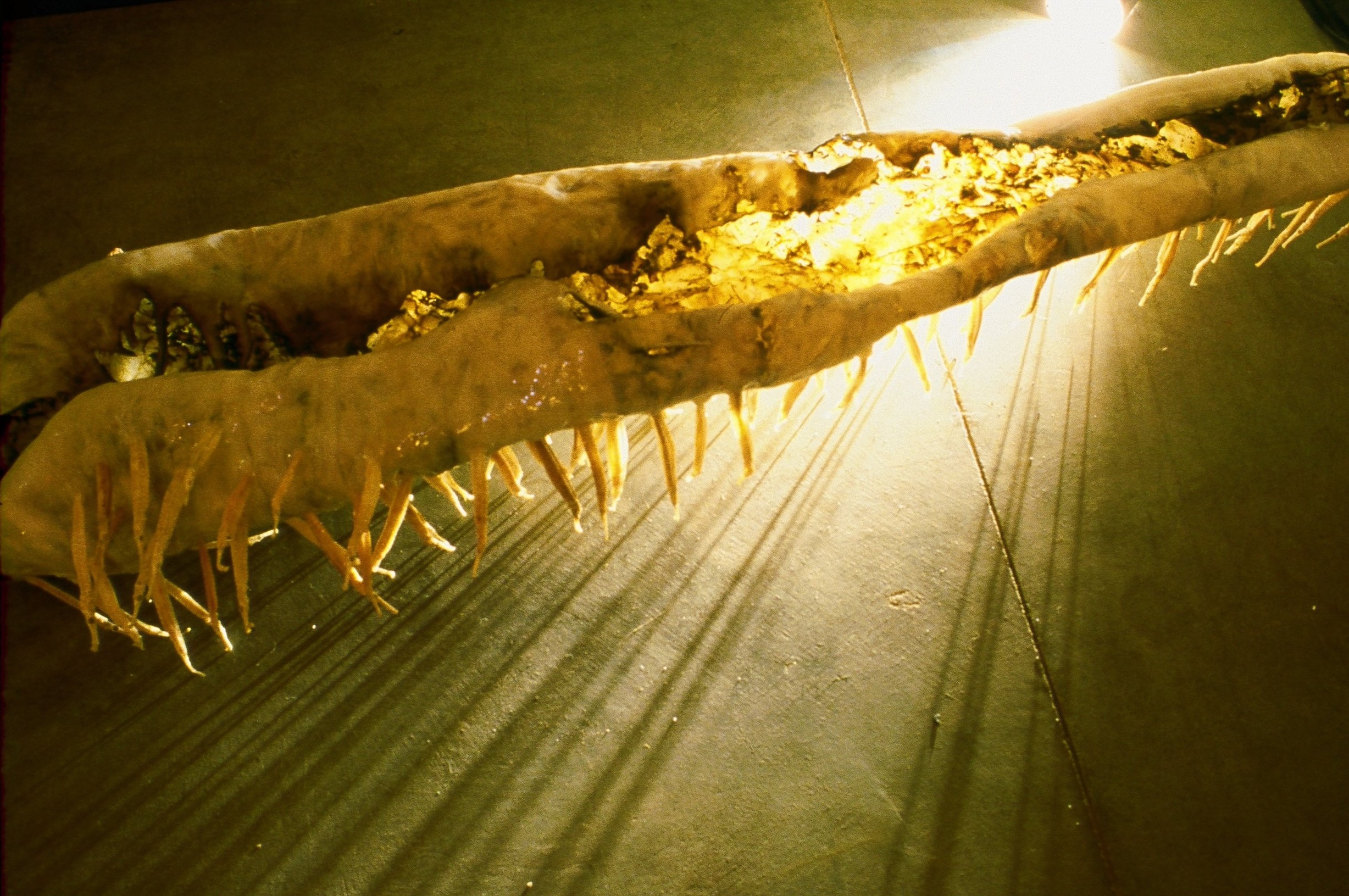"Human Realm cowhide, latex, dried fish, 14"" x 14"" x 48"" 1998"