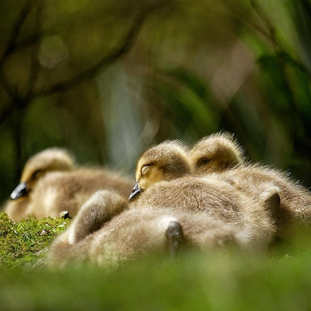 Today's pile of fluffy heads! Look at all those sleepy eyes. Aww hehe!
