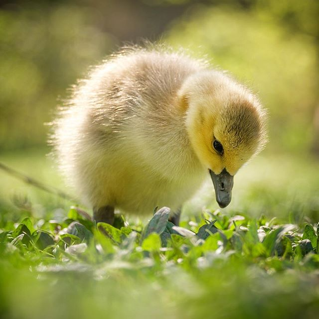 The Canada Geese chicks are on the move! If you're still and quiet, you won't upset the birds at all and they'll actually walk right up to you with the parents being very relaxed. I always encourage this approach.