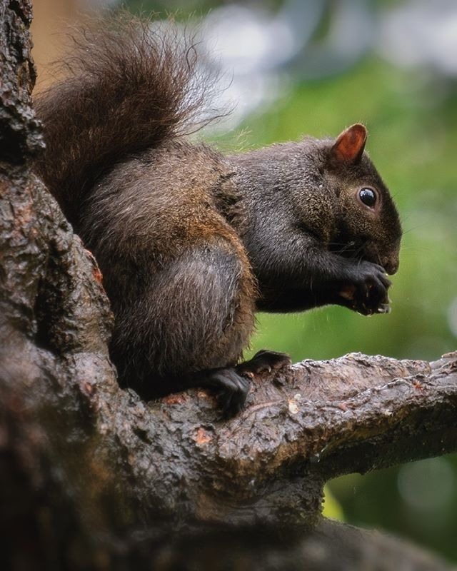 In the mornings we will often see eastern gray squirrels fighting over food near the sight of the old Stanley Park Fish house. These range in colour from light grey to black, with some having brown shades like this poser!