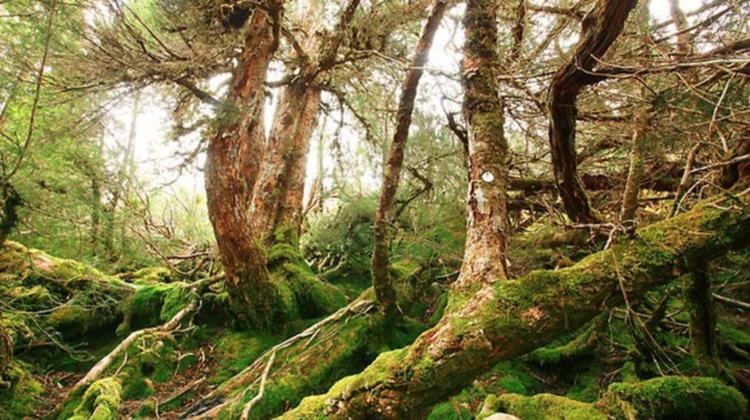 Tasmanian Huon Pine