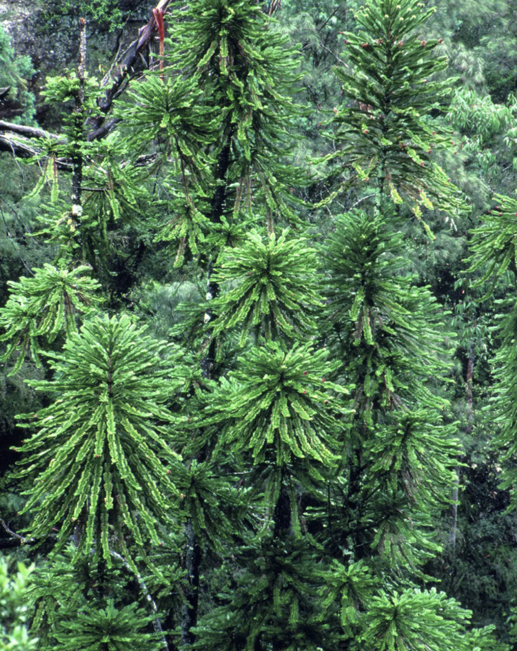 Wollemi Pines, Wollemi National Park