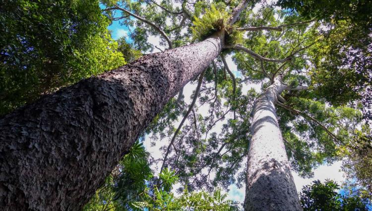 Twin Kauri Pines