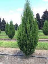 Brodie Red Cedar