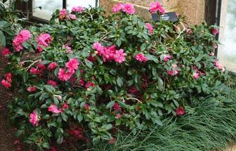 Camellia Sasanqua 'ShiShi'