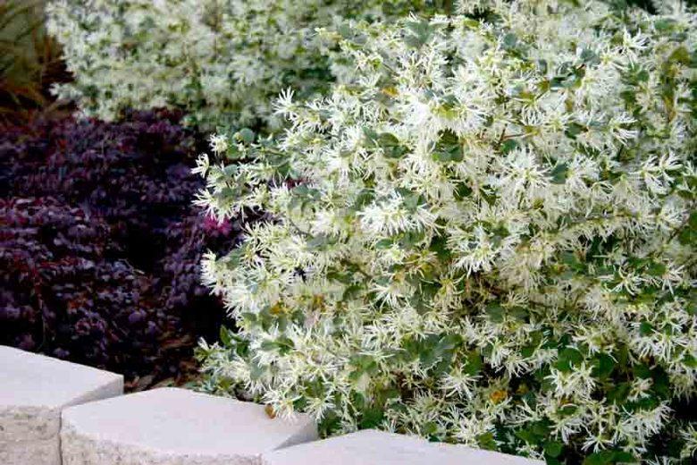 Loropetalum 'Emerald Snow'