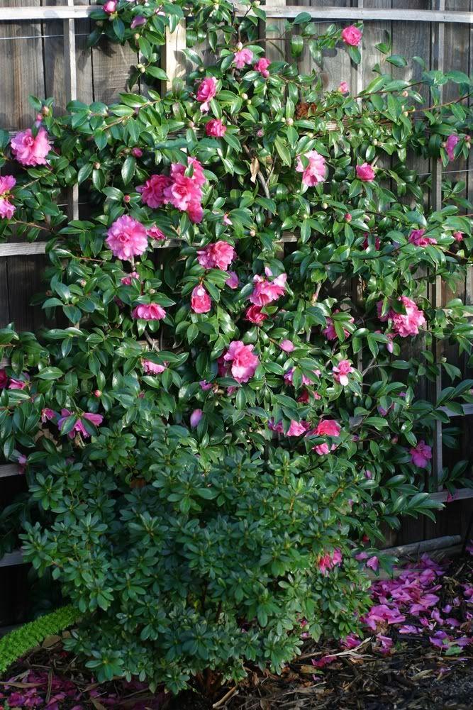 Camellia Sasanqua - Espaliered