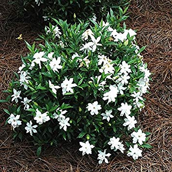 Gardenia 'Frost Proof'