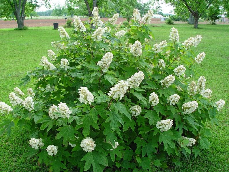 Hydrangea 'Oakleaf'