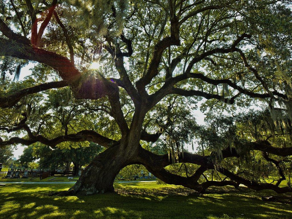 Oak - Live Oak