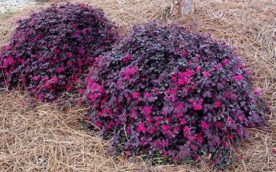 Loropetalum 'Purple Pixie'