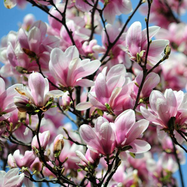 Magnolia 'Saucer'