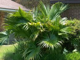 Palm - Chinese Fan