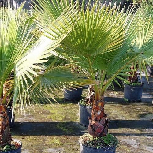 Palm - Mexican Fan