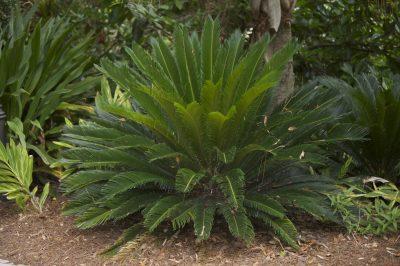 Palm - Sago