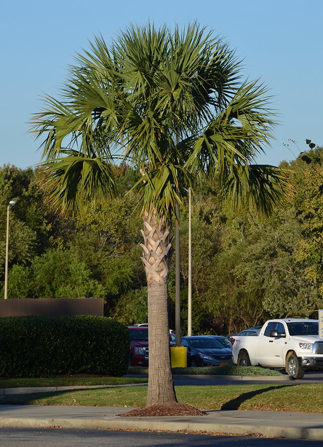 Palm - Sabal Palmetto
