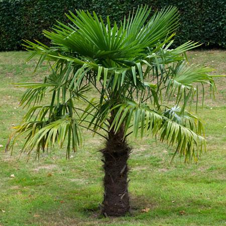 Palm - Windmill