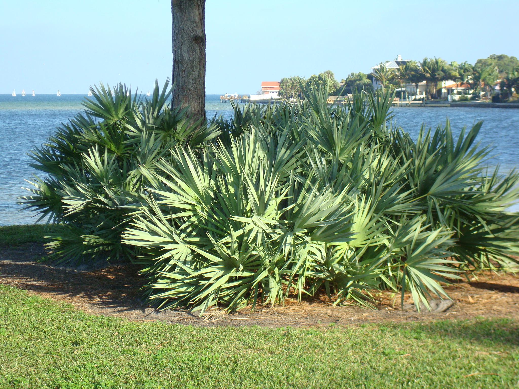 Palm - Saw Palmetto