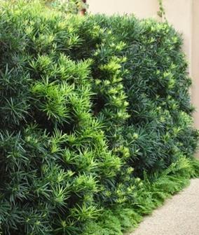 Podocarpus 'Maki'