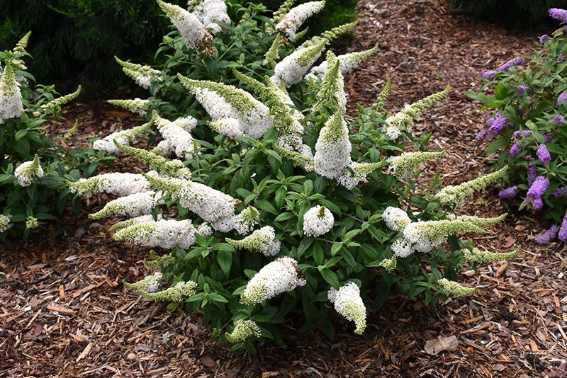 Pugster White Butterfly Bush