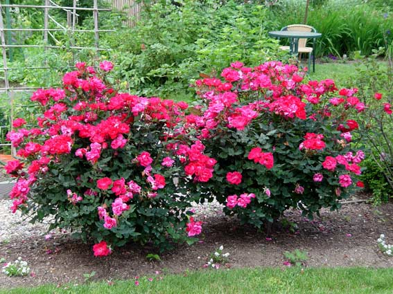 Rose 'Knock Out'