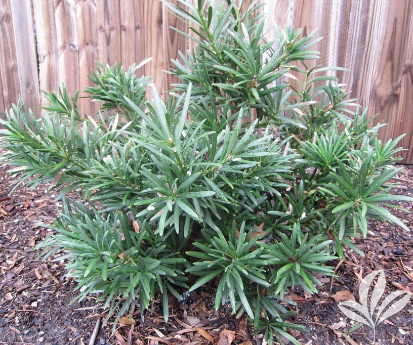 Podocarpus 'Dwarf Pringles'