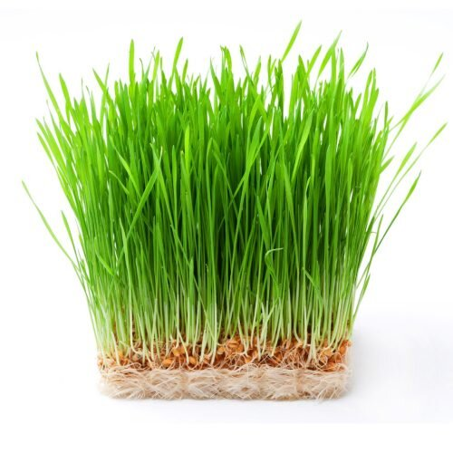 Nutritional Benefits of Wheatgrass