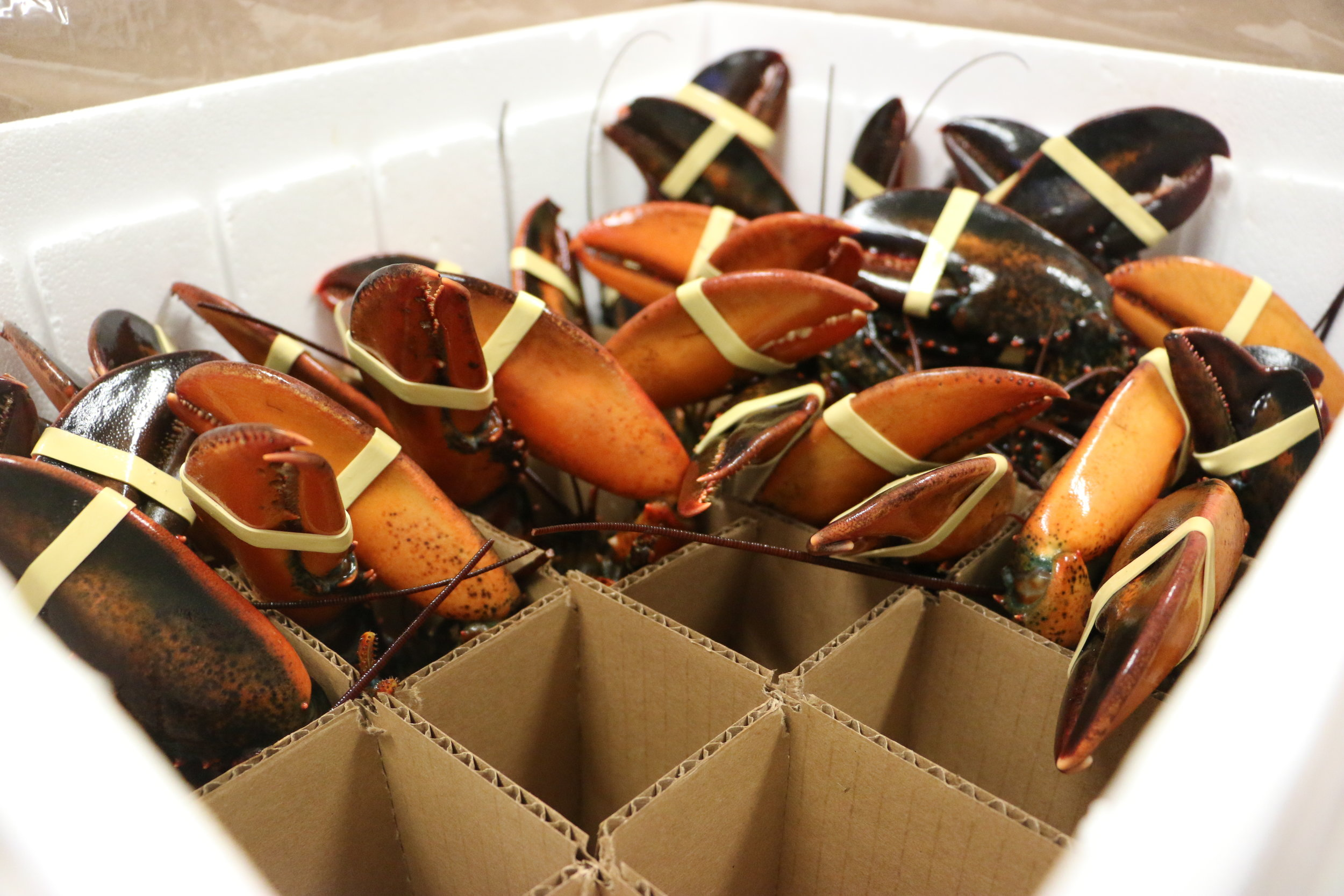 Live lobster shipped to grocery and retail stores and restaurants nationwide, by Ready Seafood, Portland, Maine