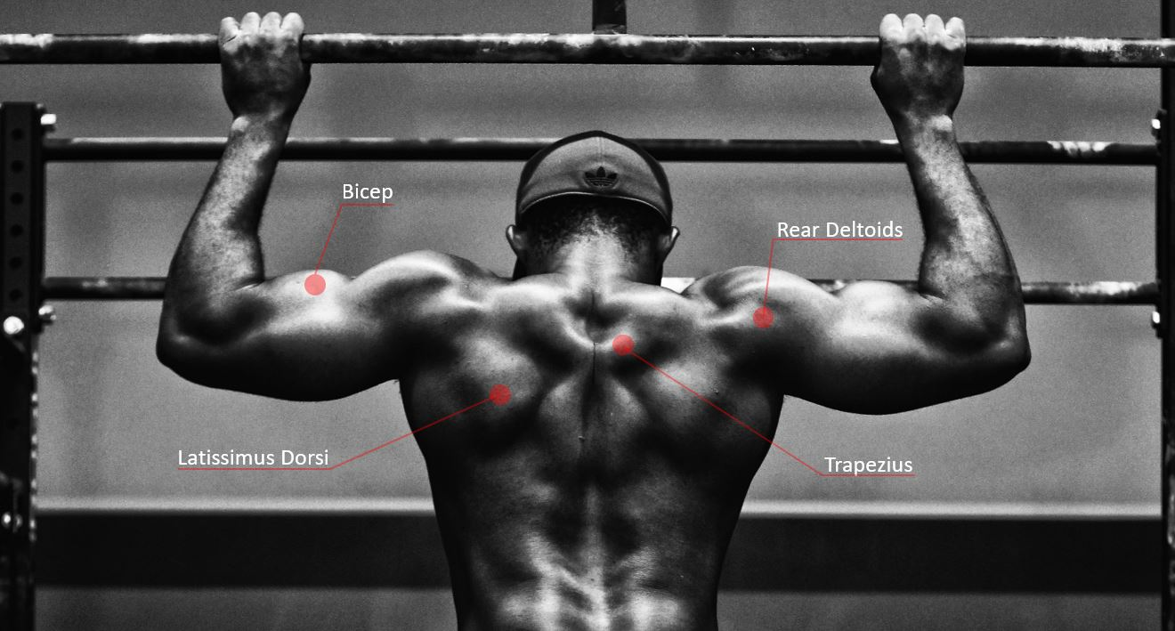 Muscles targeted during a pull-up