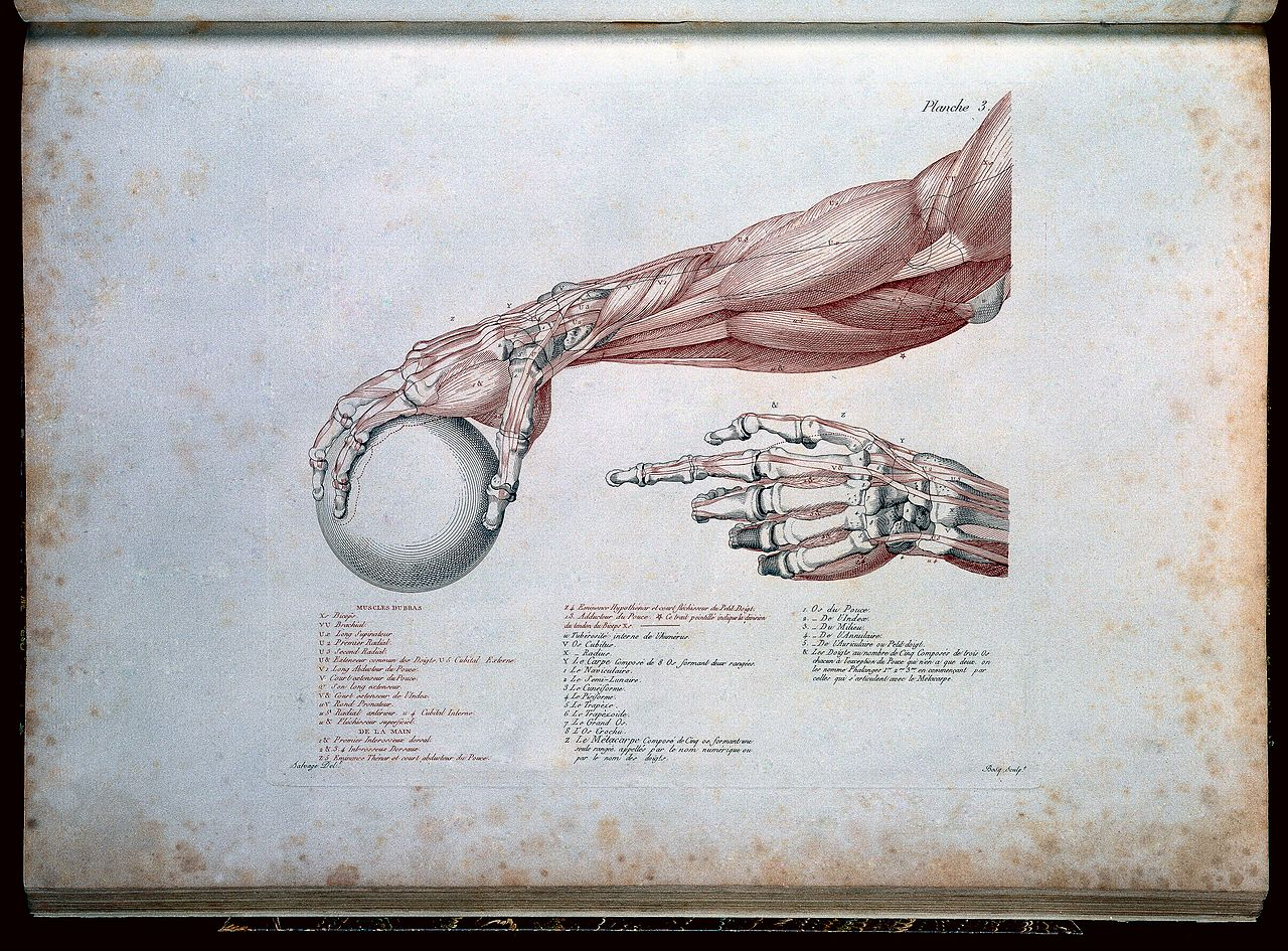 Anatomie du Gladiateur by  Jean Galbert Salvage , 1812. Notice how the right hand is gripping the ball with an open crushing grip?