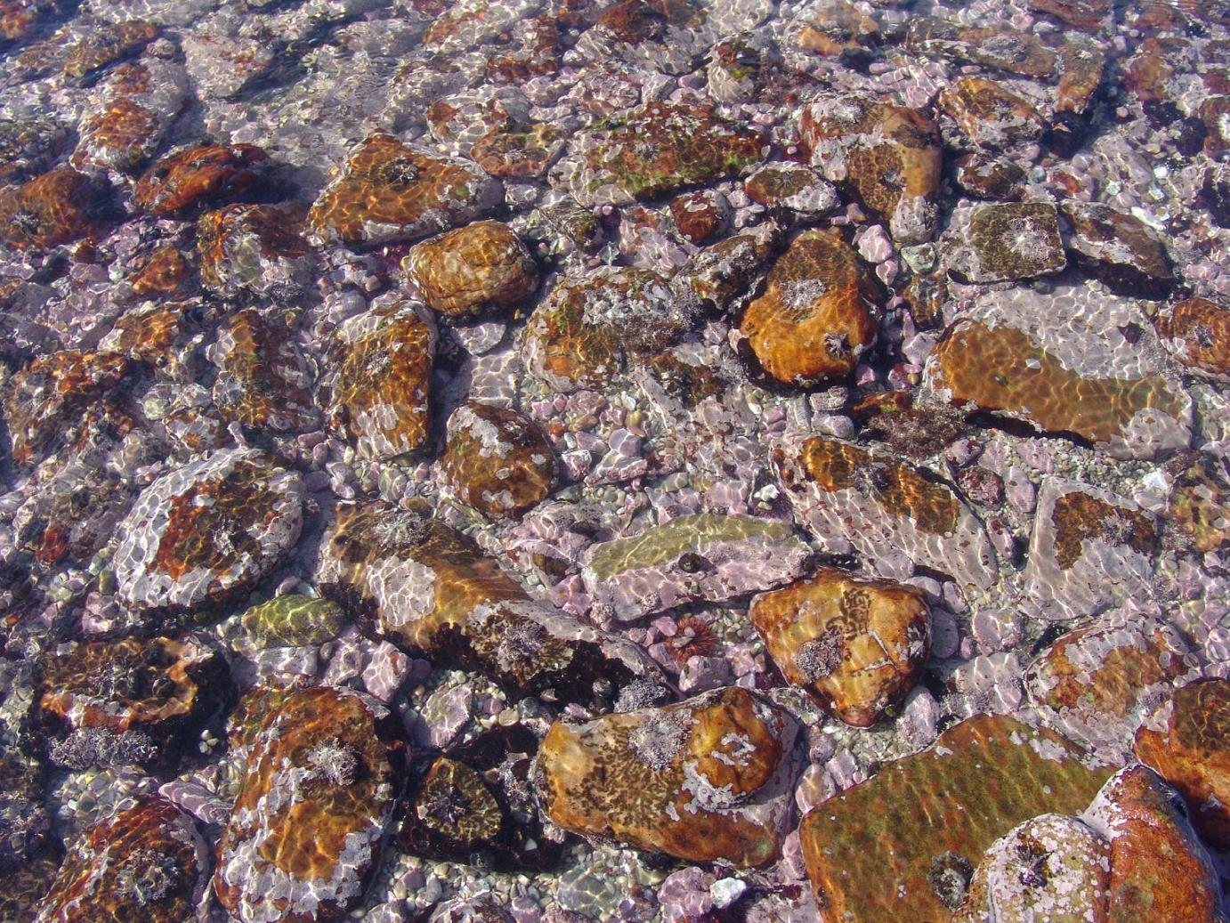 (coralline mosaic): The intertidal and shallow subtidal zones of the Agulhas region are rich in diversity of encrusting coralline algae that often form a mosaic of pink encrusting mats.