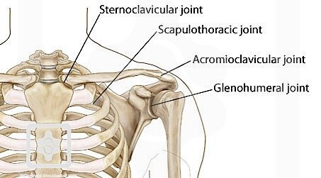 bones of shoulder image.jpg