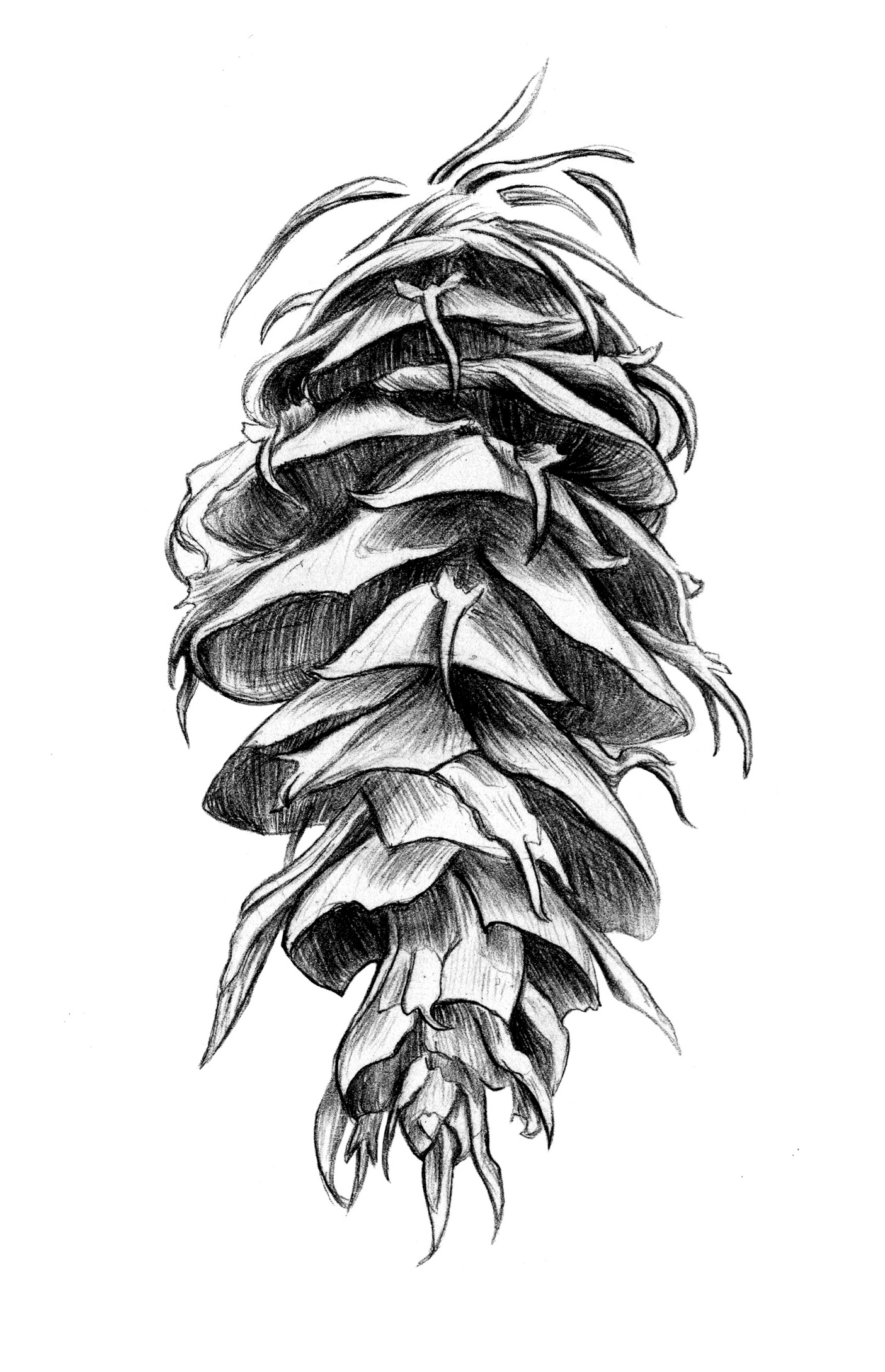 Doug Fir Cone_Lori LaBissoniere_edited.jpeg