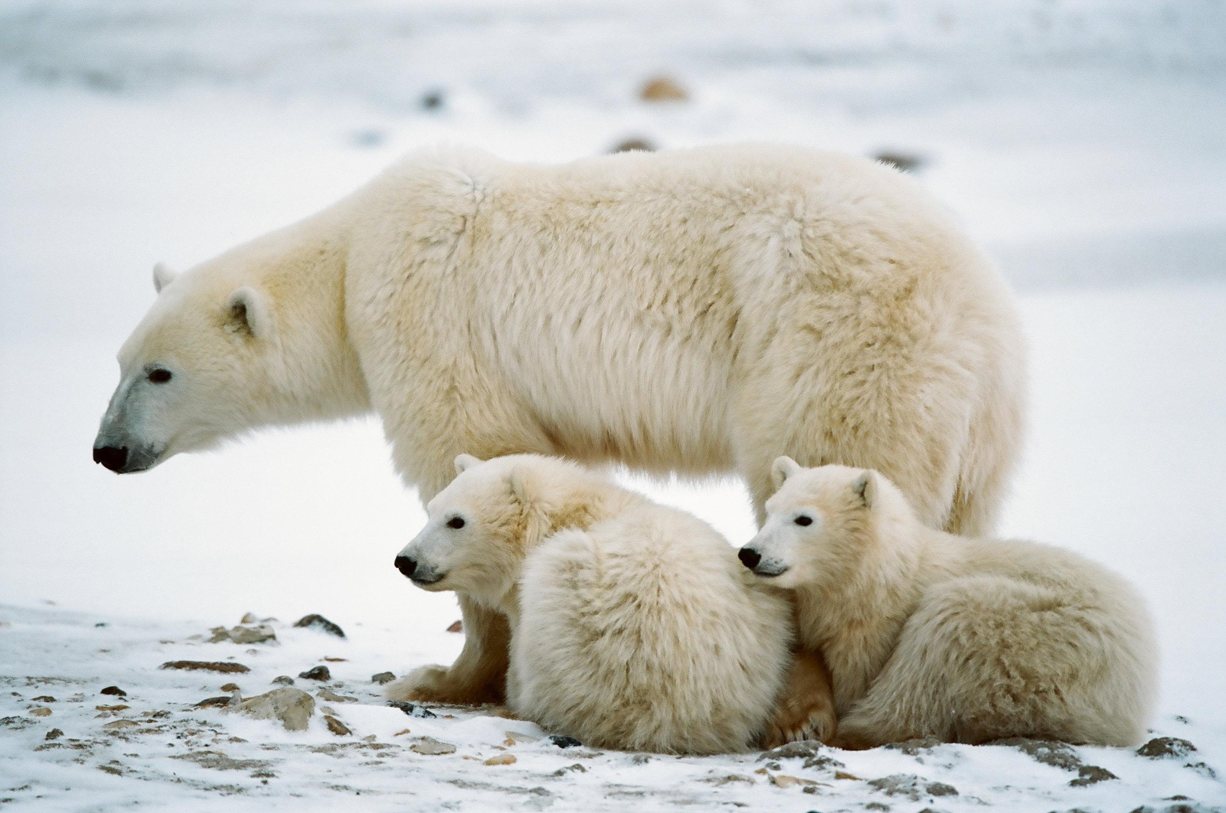 PolarBears1.jpg