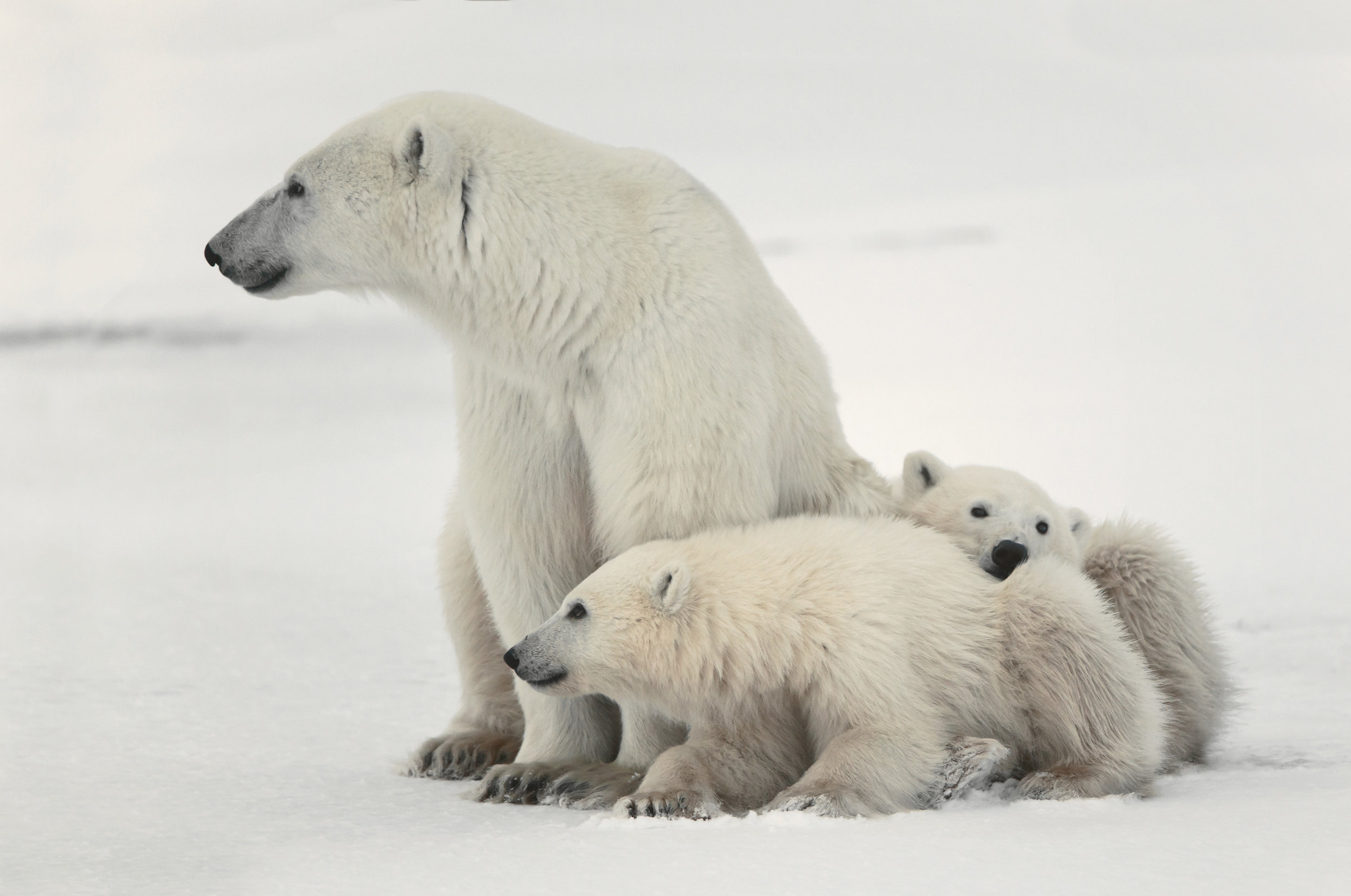 PolarBears2.jpg