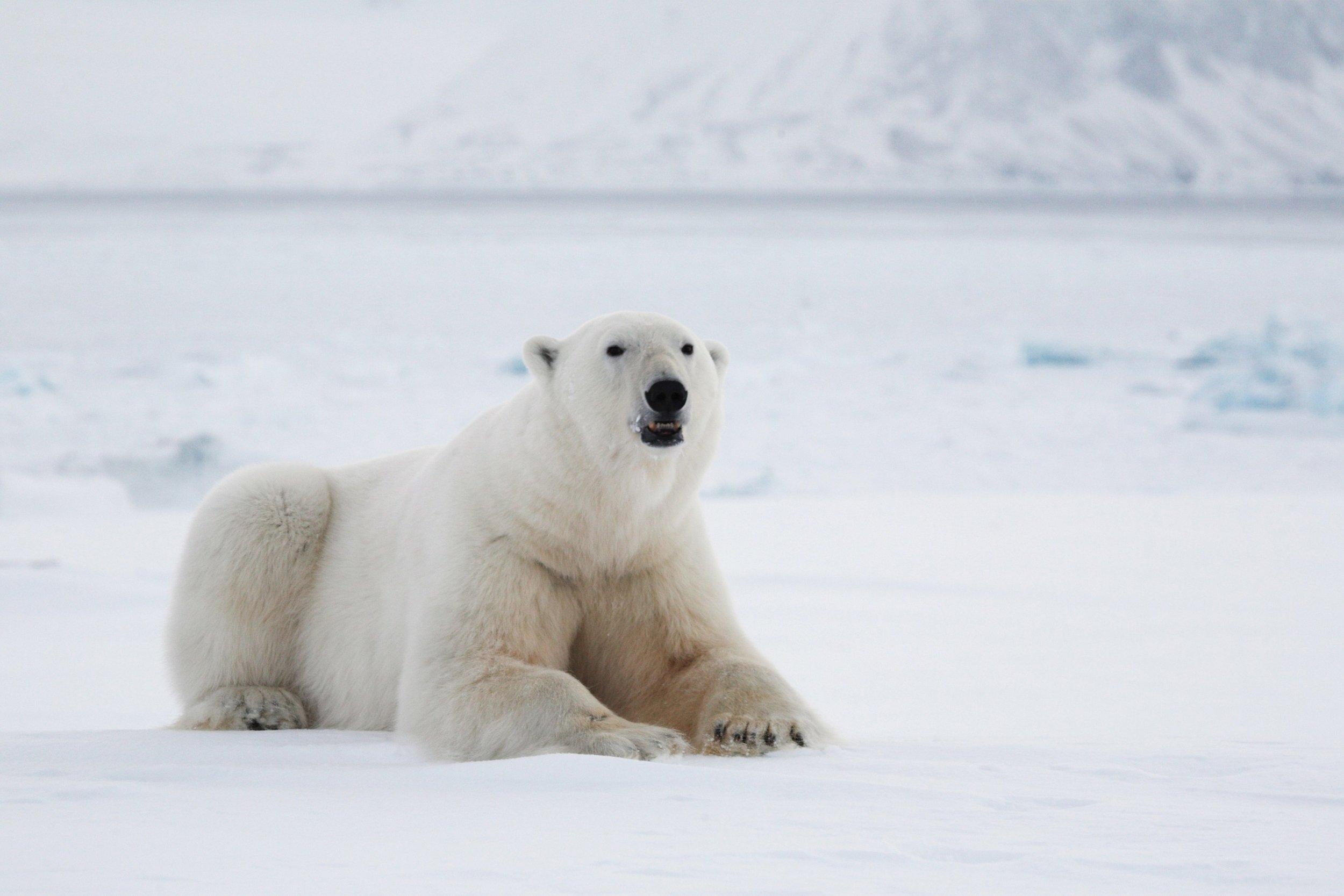 PolarBears3.jpg