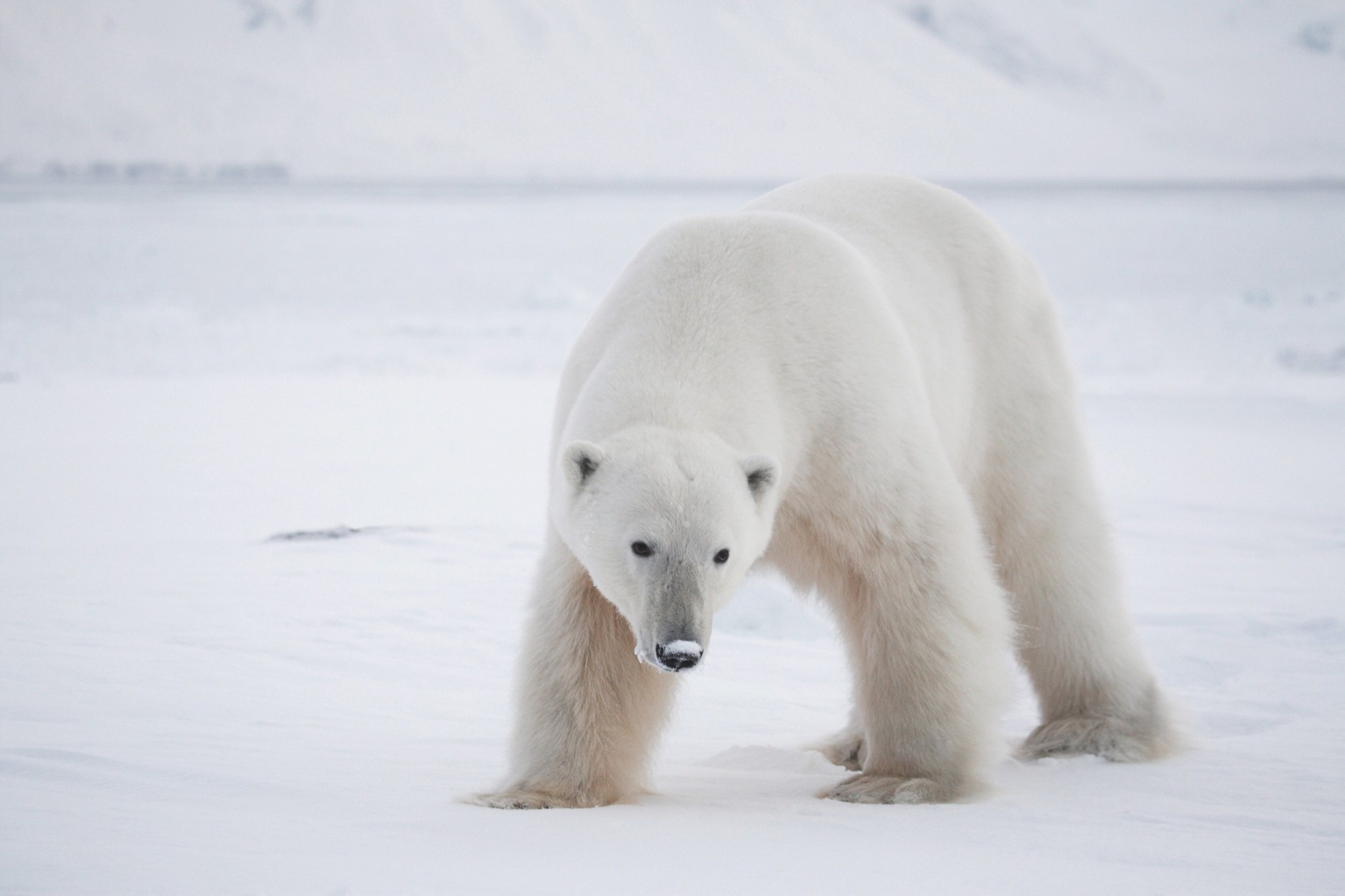 PolarBears4.jpg