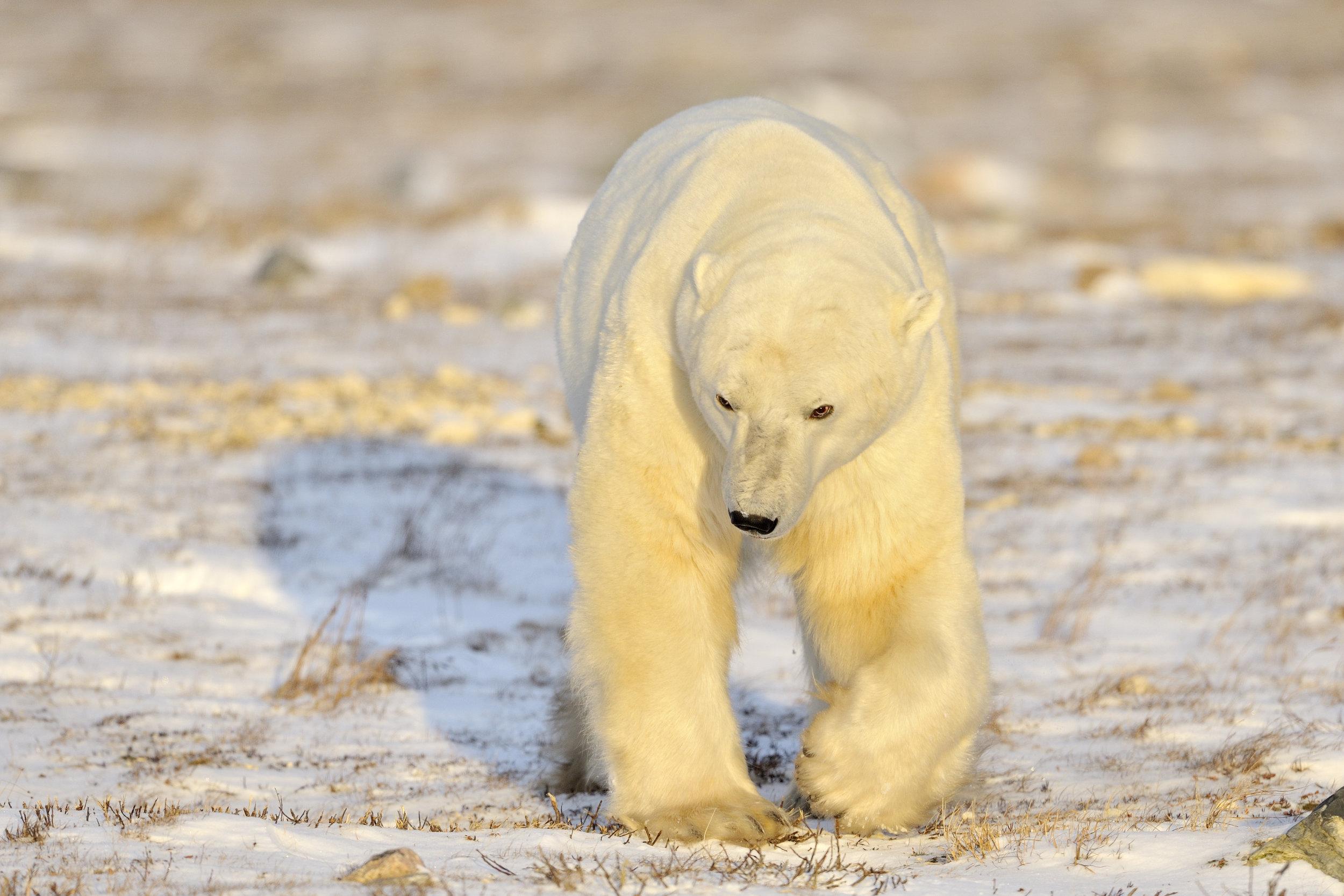PolarBears7.jpg