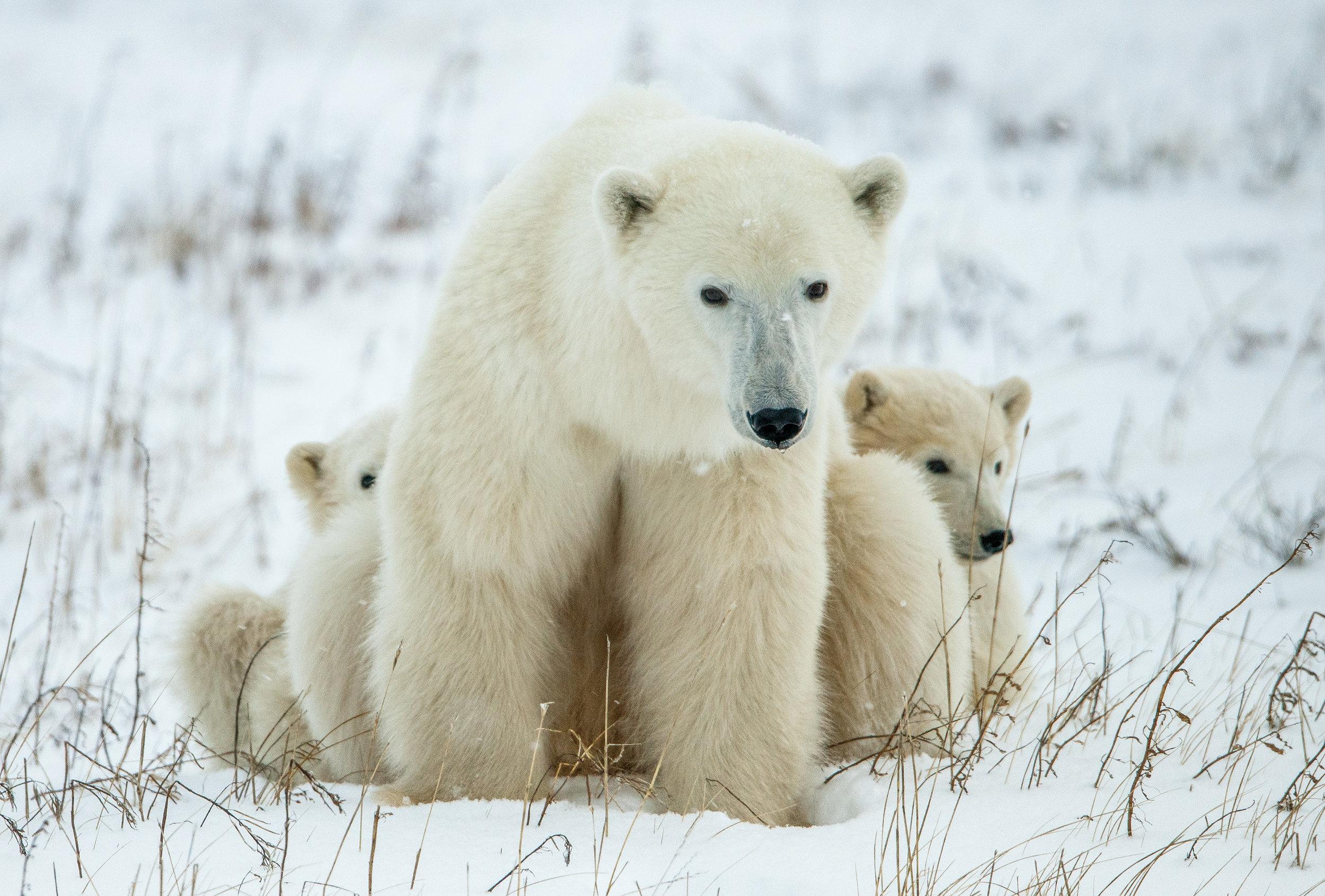 PolarBears10.jpg