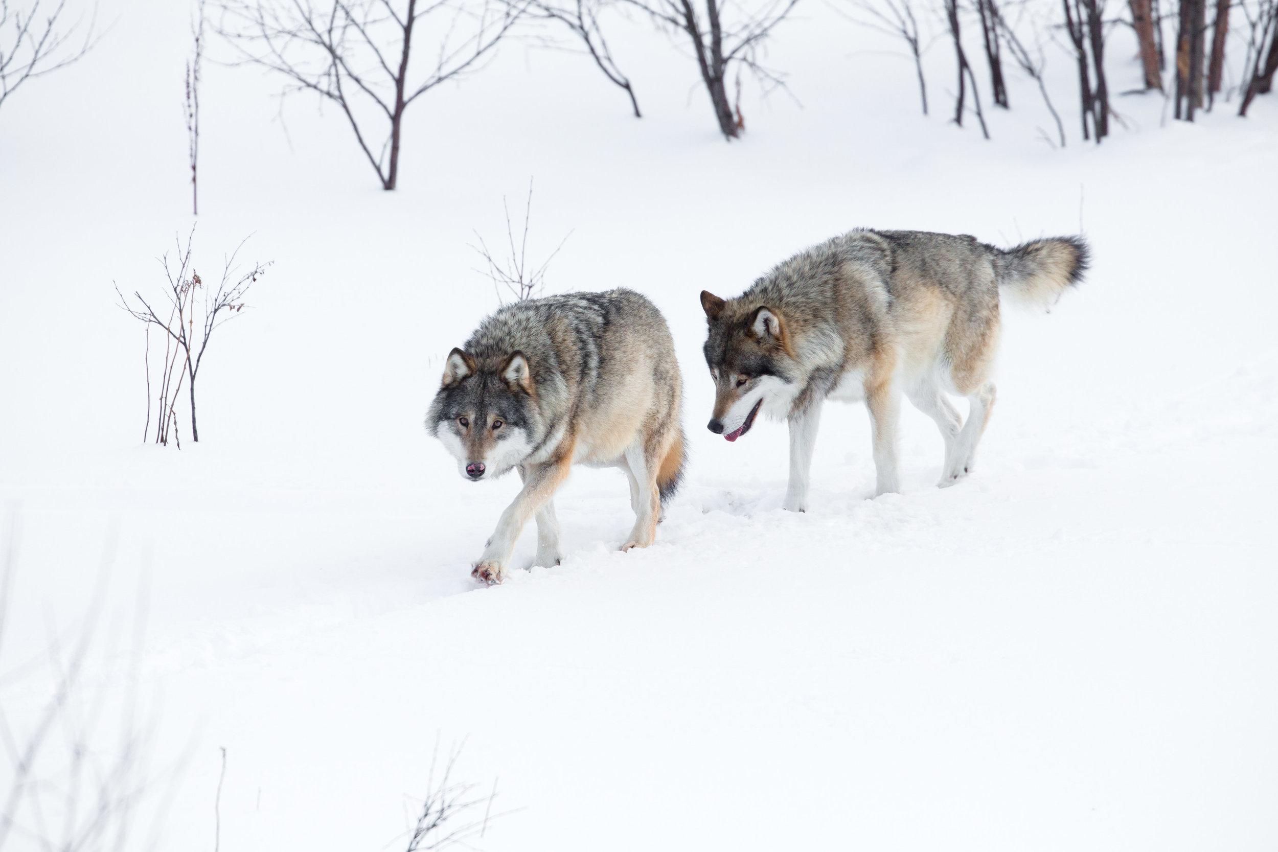 wolves3.jpg
