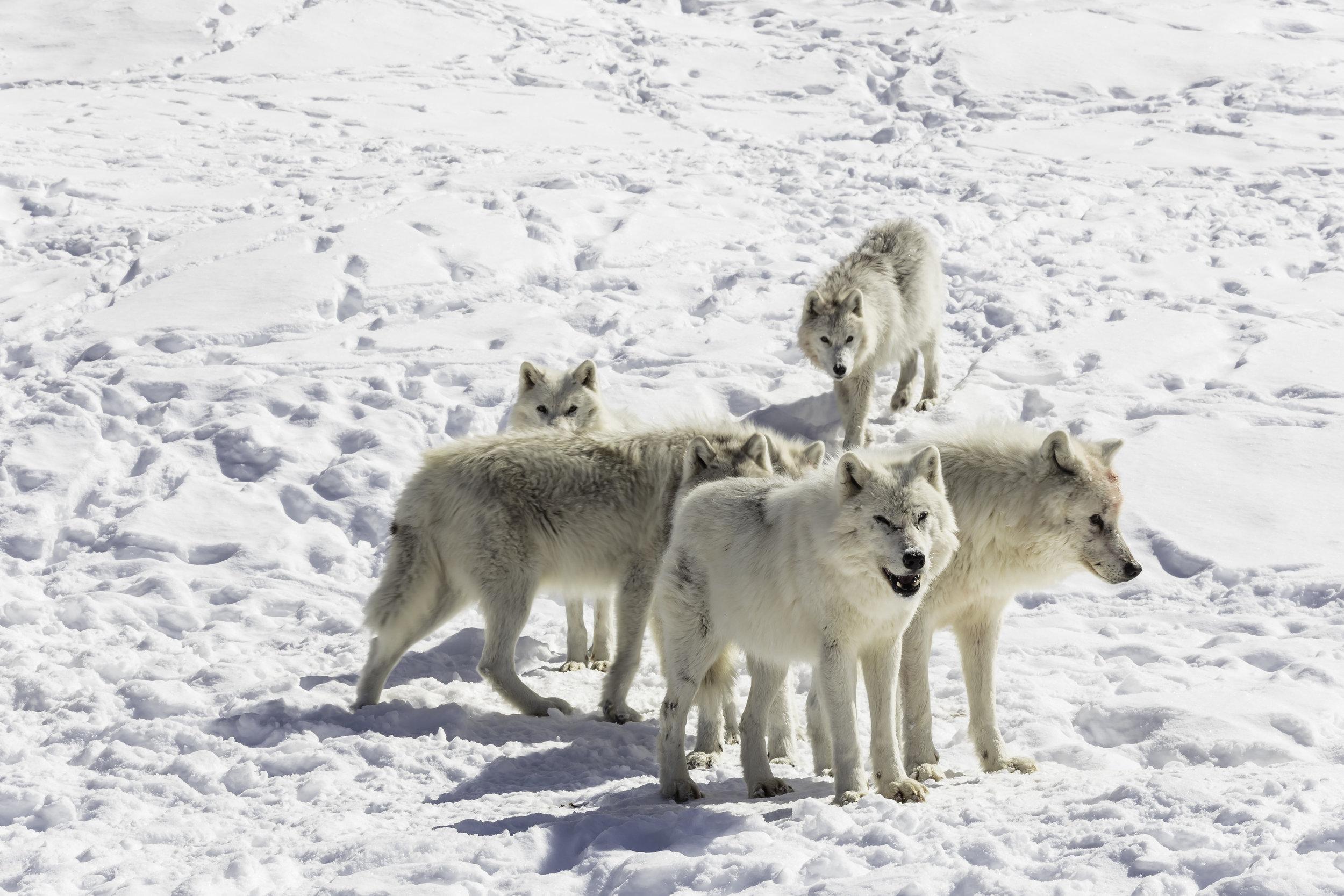 wolves11.jpg