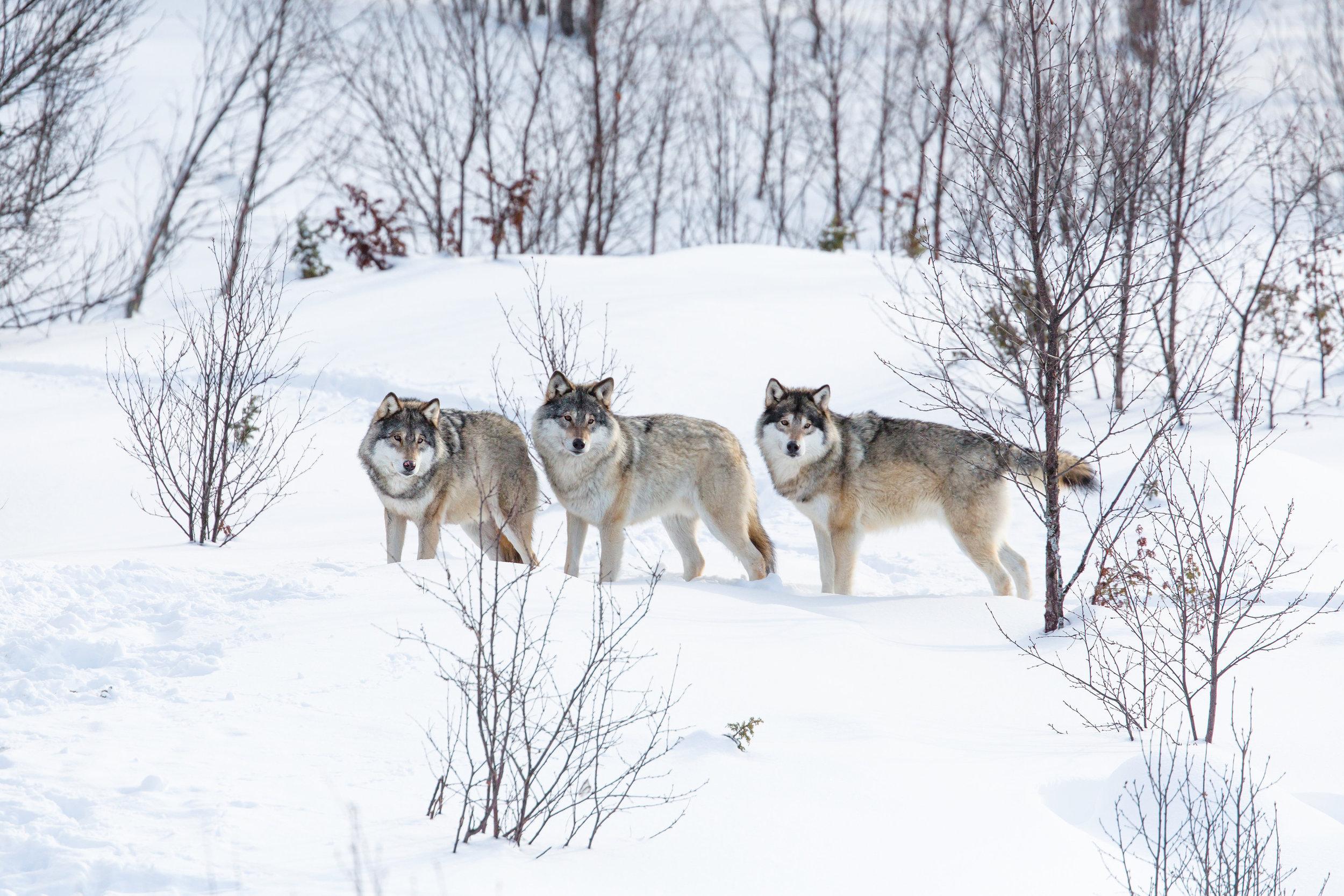 wolves10.jpg