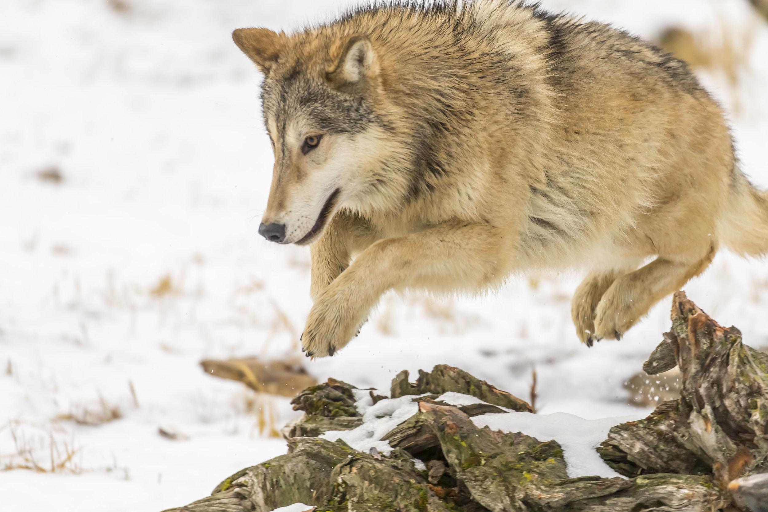 wolves13.jpg
