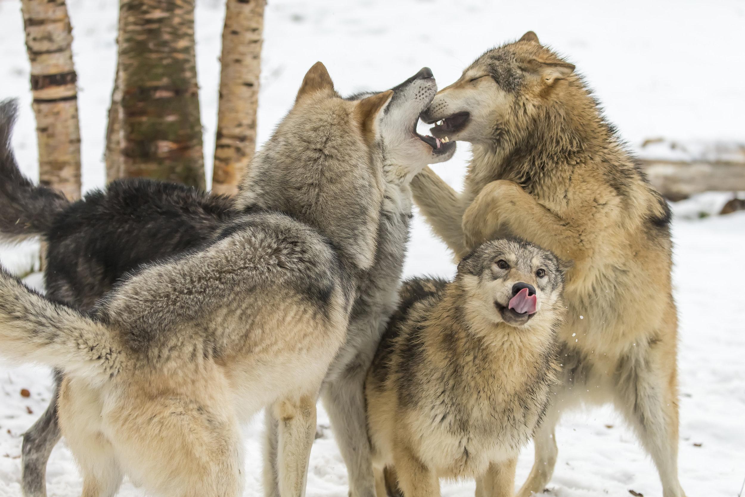 wolves14.jpg