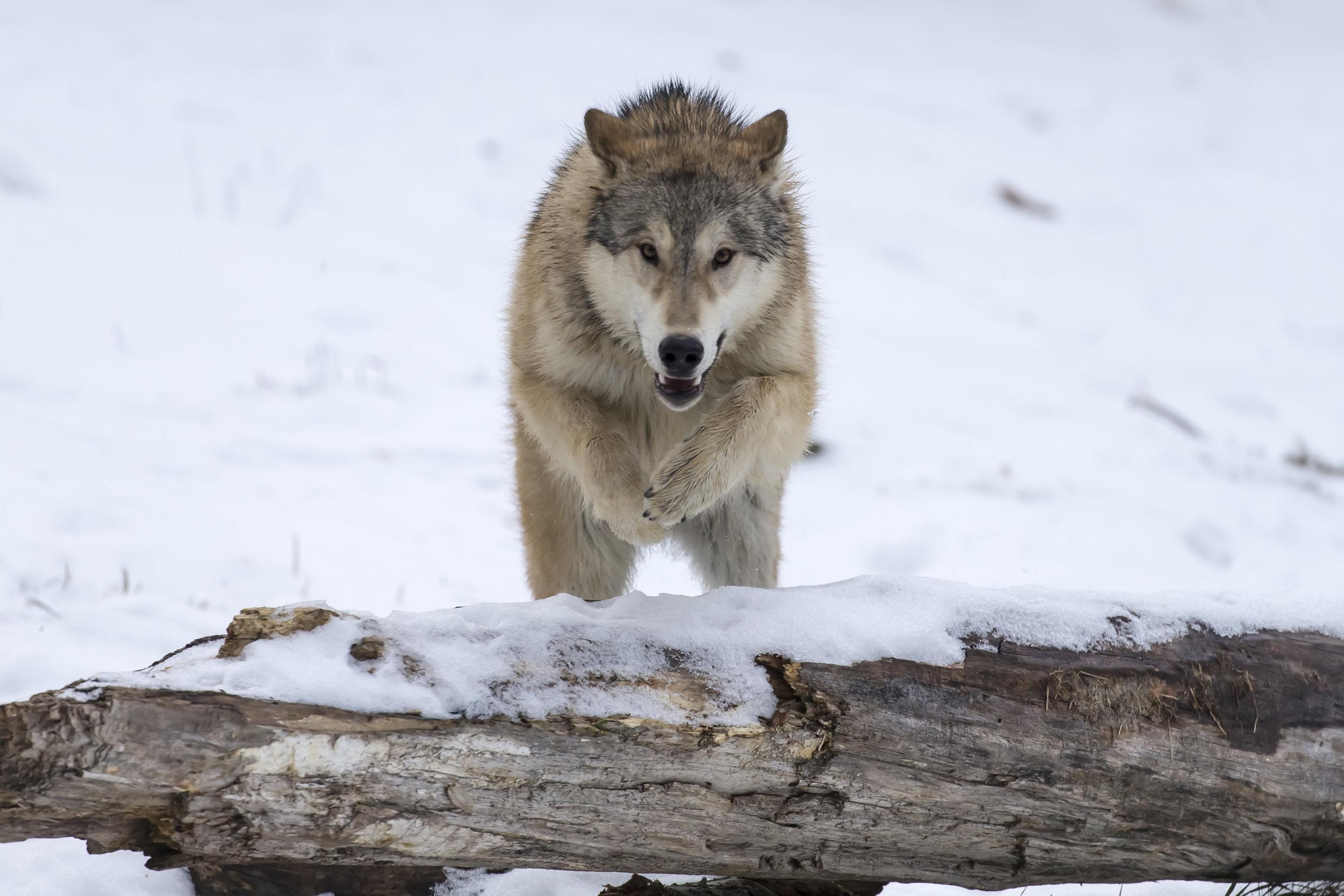 wolves15.jpg