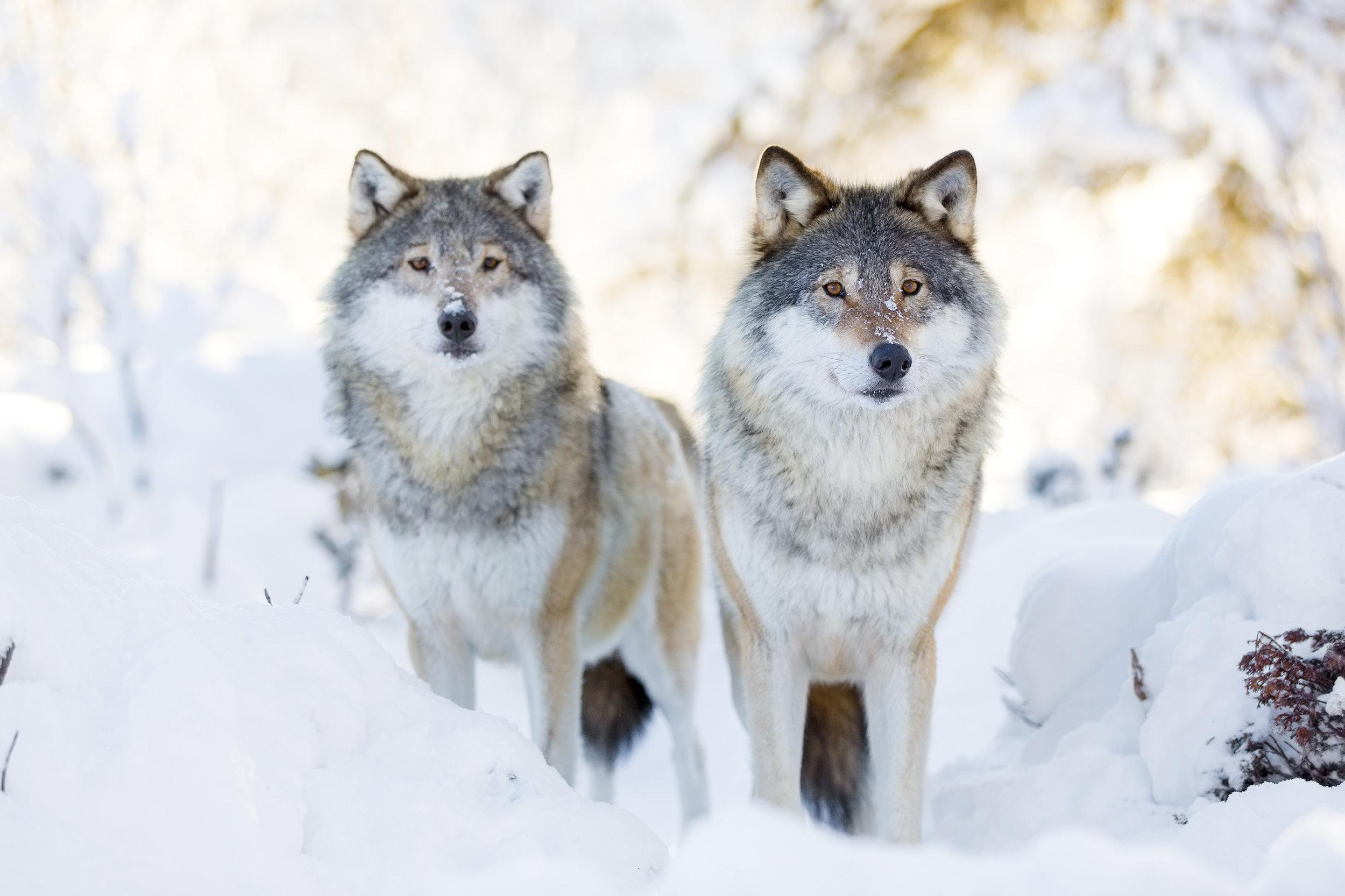 wolves16.jpg