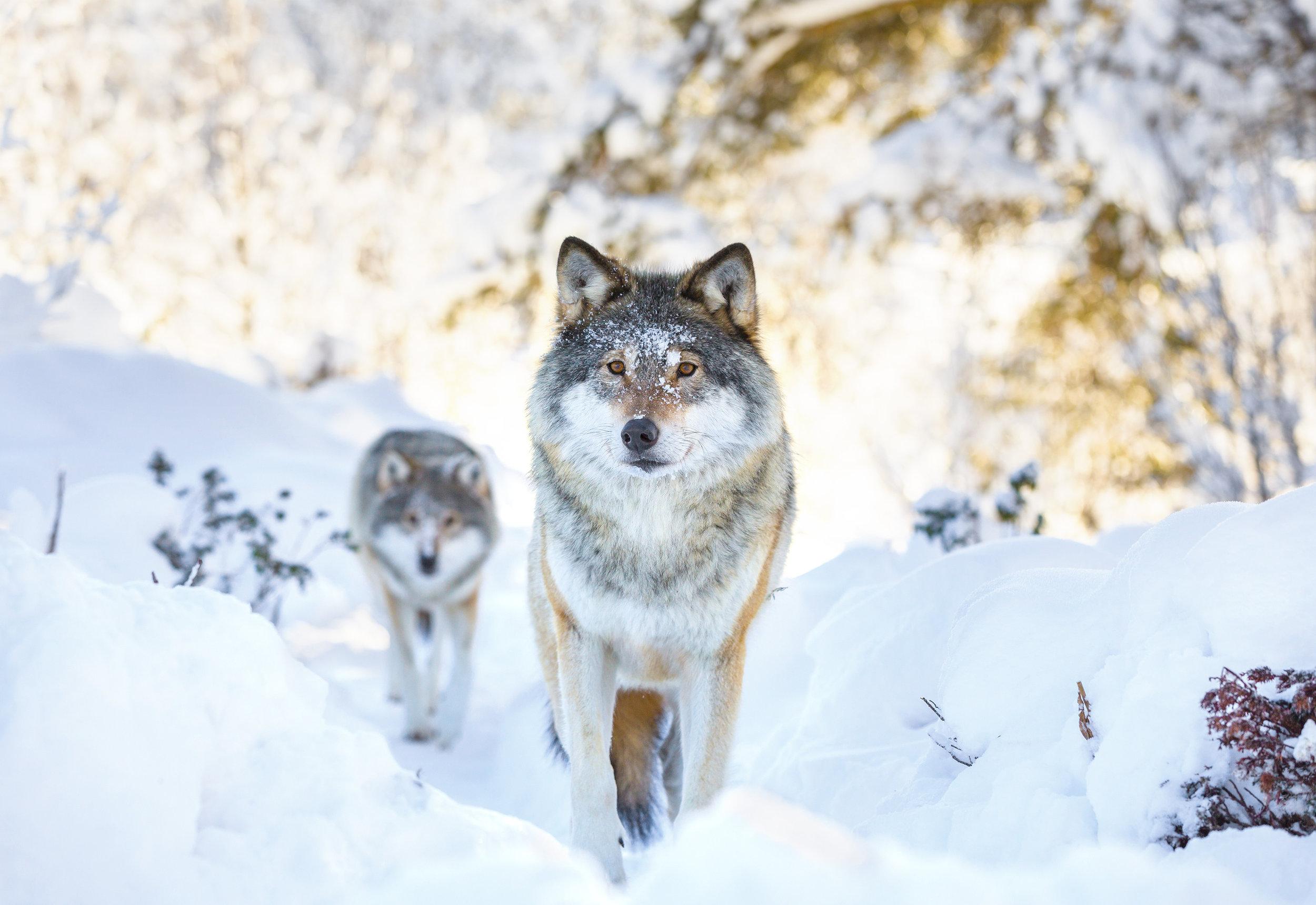wolves18.jpg