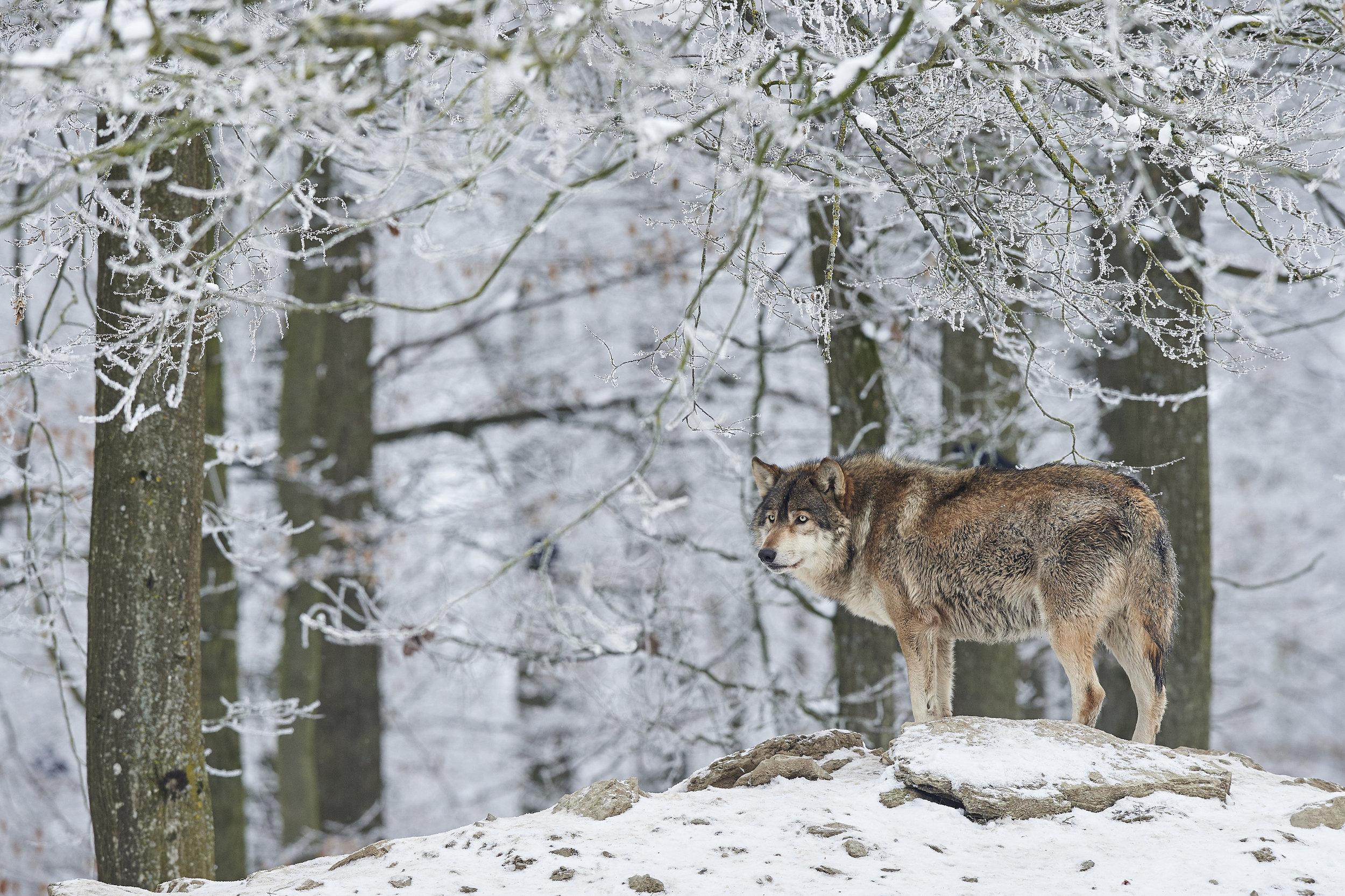 wolves17.jpg