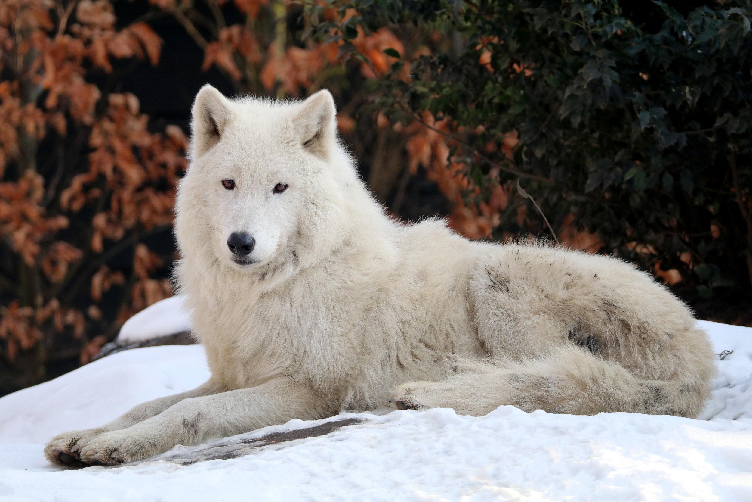 wolves19.jpg