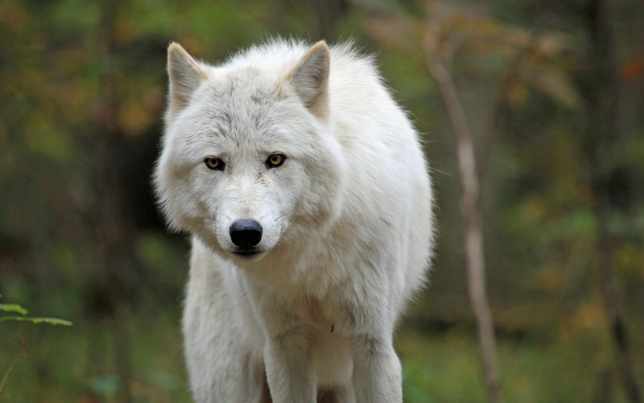 wolves21.jpg